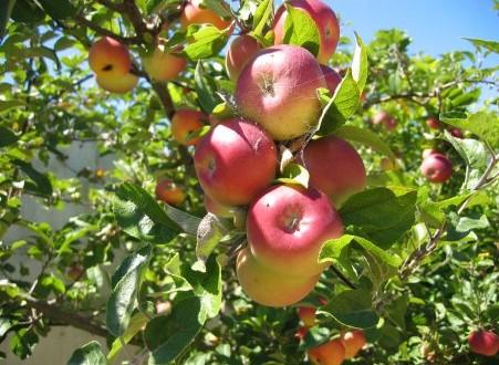 Το δένδρο Μηλιά και το Μήλο