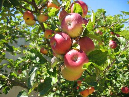 Μήλο – Μηλιά – Ιδιότητες – Φρούτο