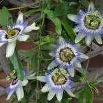 Πασιφλόρα ή ρολογιά Passiflora